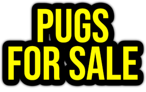 pugs for sale PNG